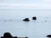 seals_on_rocks_at_cloudcroft_beach_access